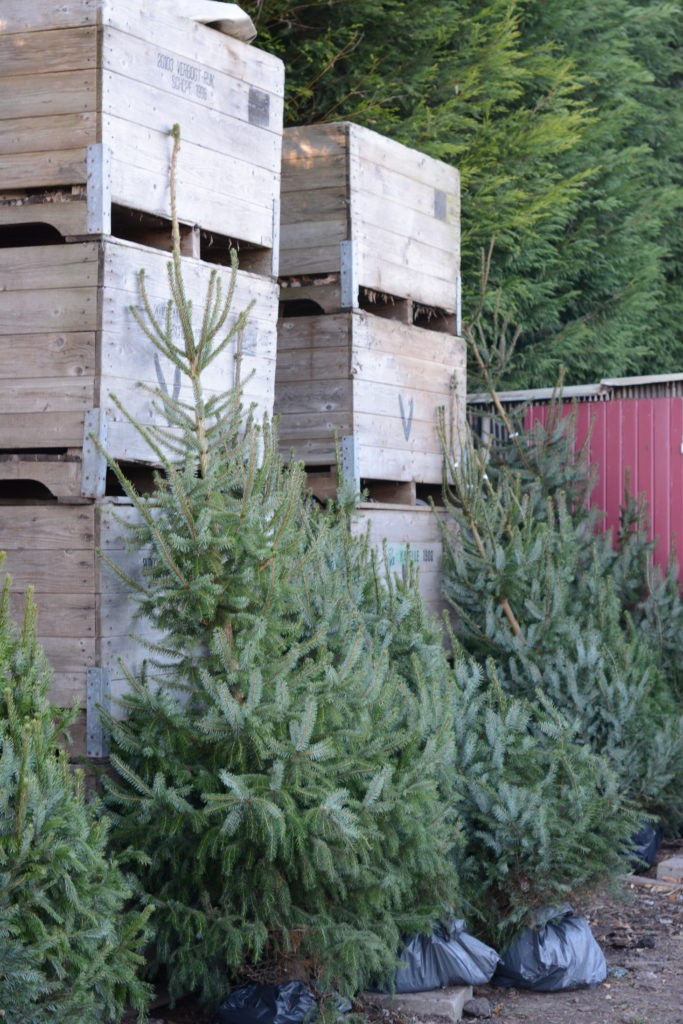 kerstboom kerst dennenboom zeeland groos schore kapelle zuid-beveland